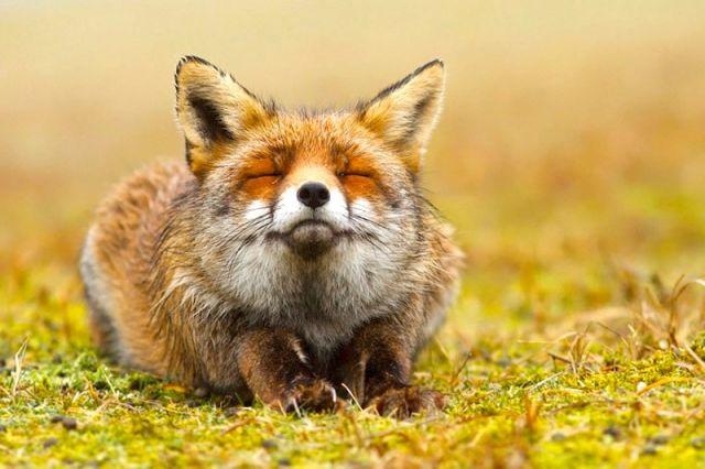 Découvrez les 7 plus belles espèces de Renards 21