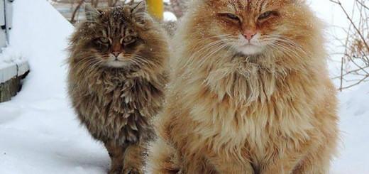 Les 19 plus grands chats du monde 13
