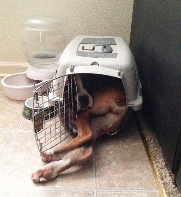 Des chiens qui rêvent d'être encore petits. 12