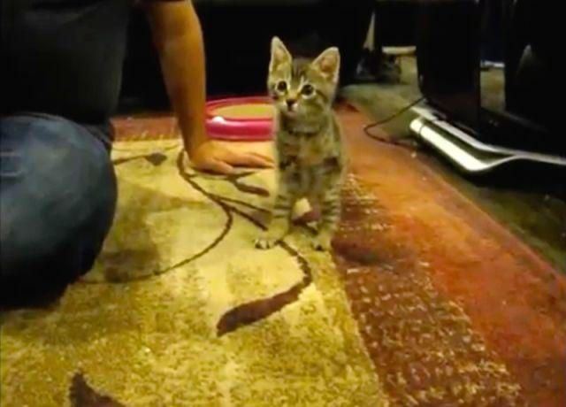 Emouvant : ce magnifique chaton n'a que 2 pattes, mais il est heureux !