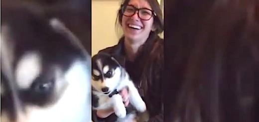 INSOLITE : ce petit husky apprend à parler !
