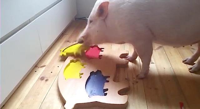 Maurice le cochon fait un puzzle !
