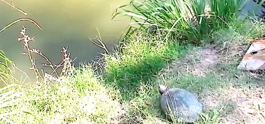 AMUSANT : Cette tortue fait un saut d'une rare délicatesse !