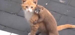Trop EMOUVANT : cette belette va tout faire pour se faire accepter par ce chaton
