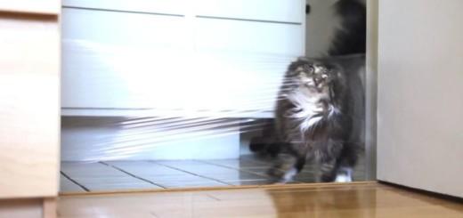Un chat, un laser, du film transparent.