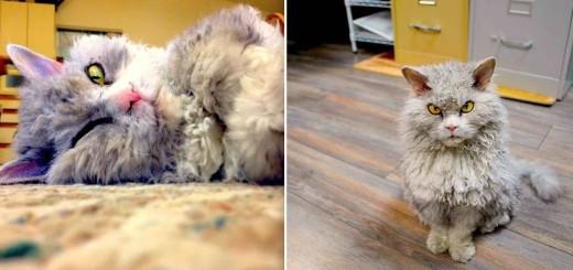 Albert le chat-mouton à la mine grincheuse 14