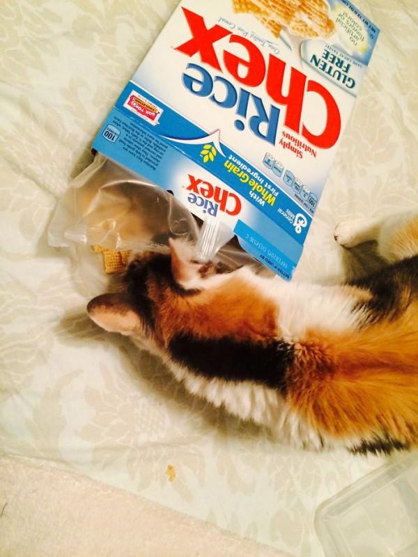 21 chats TRES gourmands qui mangent tout ce qu'ils trouvent ! 3