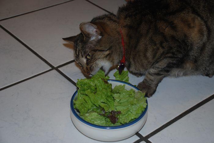 21 chats TRES gourmands qui mangent tout ce qu'ils trouvent ! 4