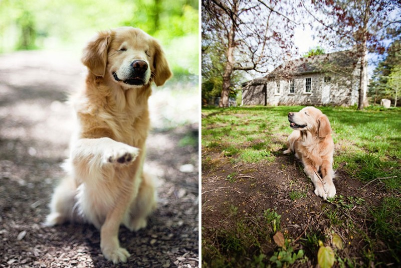 Ce golden retriever, né aveugle, est devenu un chien de thérapie pour les handicapés et les malades mentaux 10