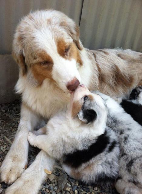 chien-et-chiot-2