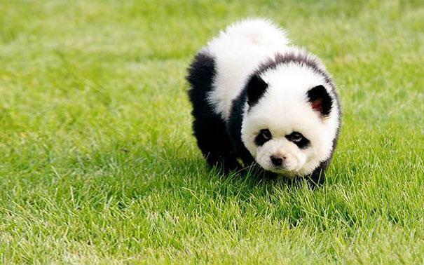 chien-ressemble-ourson-12