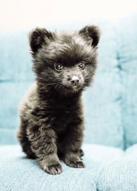chien-ressemble-ourson-14
