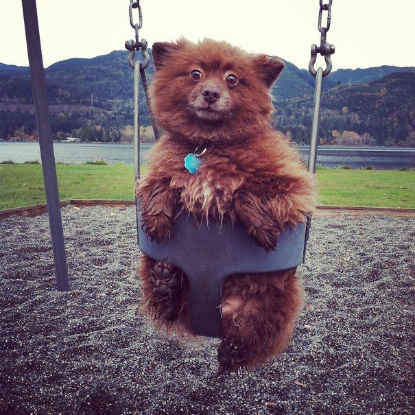 chien-ressemble-ourson-15
