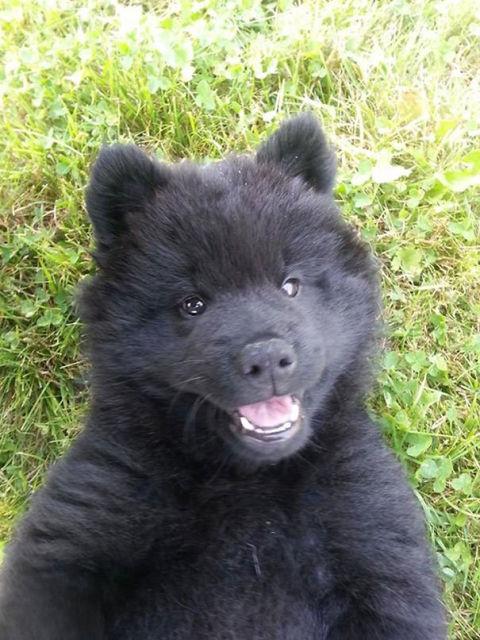 chien-ressemble-ourson-5