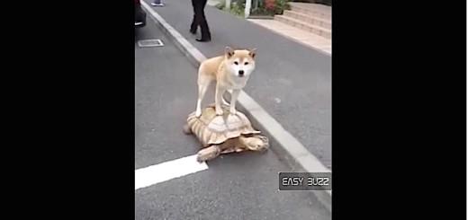 Ce chien fait de l'équitation sur une tortue