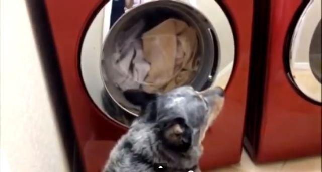 Mais pourquoi ce chien attend 45 minutes devant la machine à laver ???