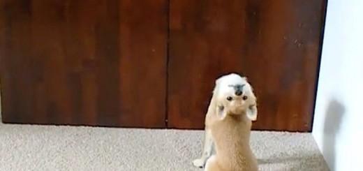 Ce chien a sa façon bien à lui pour demander à sortir !