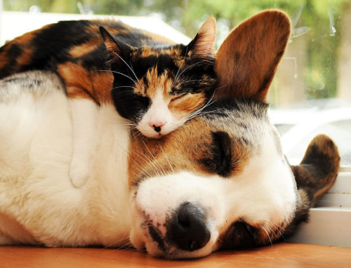 chiencoussin1