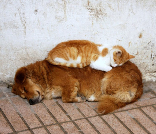 chien chat insolite