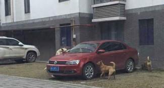 chiens-vengeance-chakipet-3