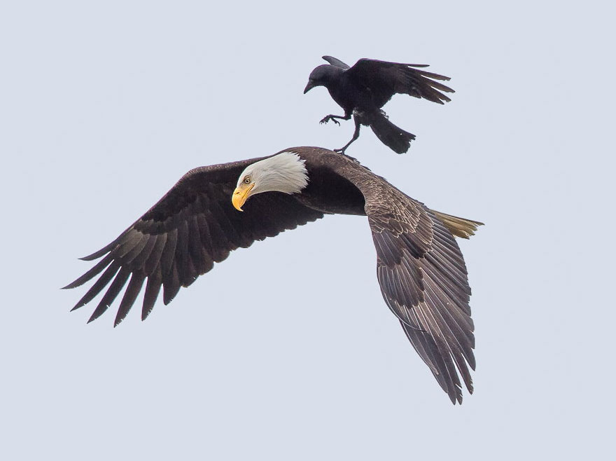 corbeau-sur-aigle-1