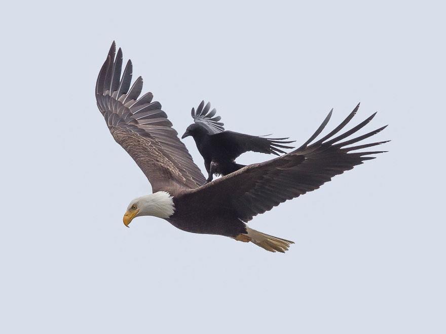 corbeau-sur-aigle-2
