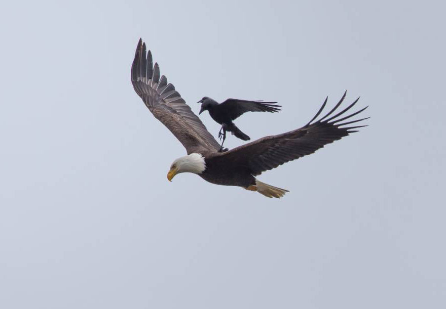 corbeau-sur-aigle-4