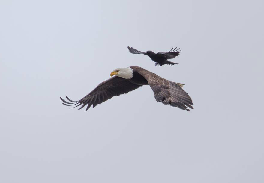 vol corbeau aigle atterissage