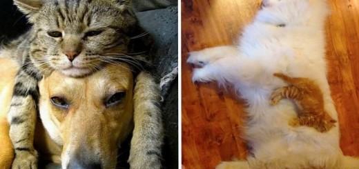 25 Chats qui prennent les chiens pour des coussins 37