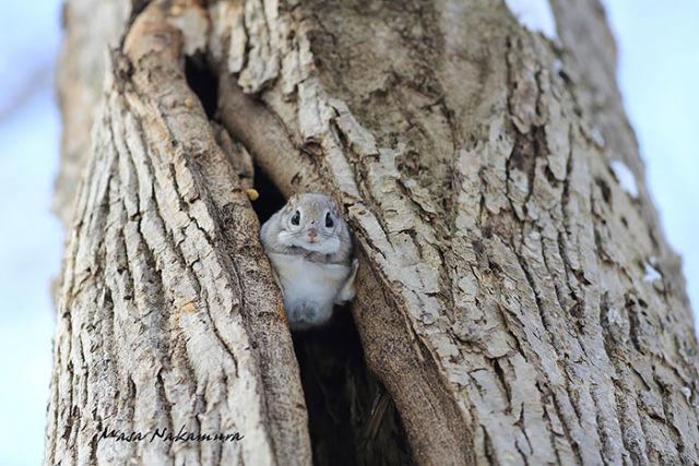 ecureuil-siberie-japon-2