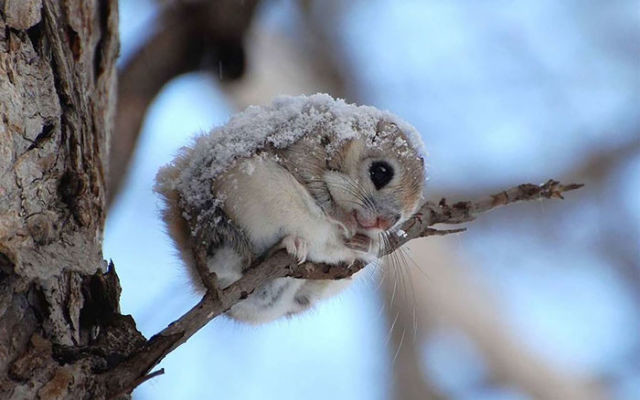 ecureuil-siberie-japon-3