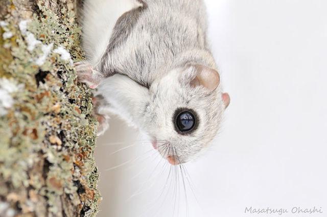 ecureuil-siberie-japon-8