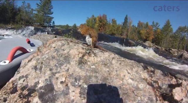 Un homme nageant dans la rivière sauve un petit écureuil !!