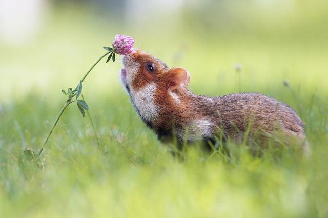 hamster-trop-mignon-1