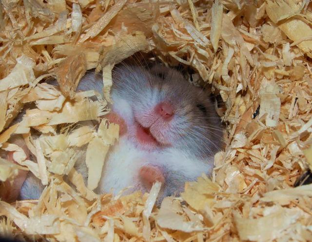 hamster-trop-mignon-10