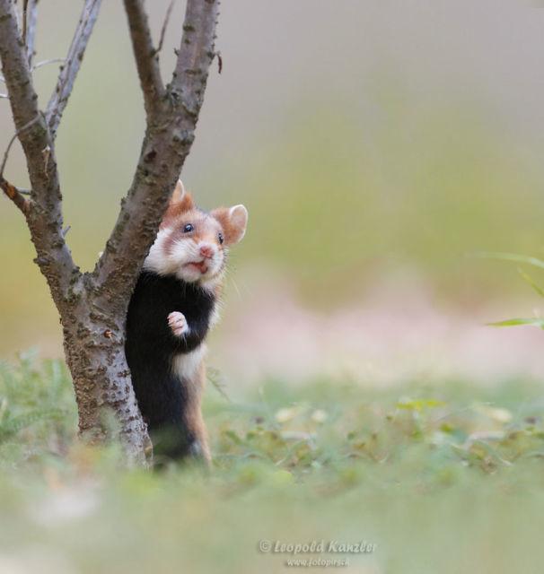 hamster-trop-mignon-11