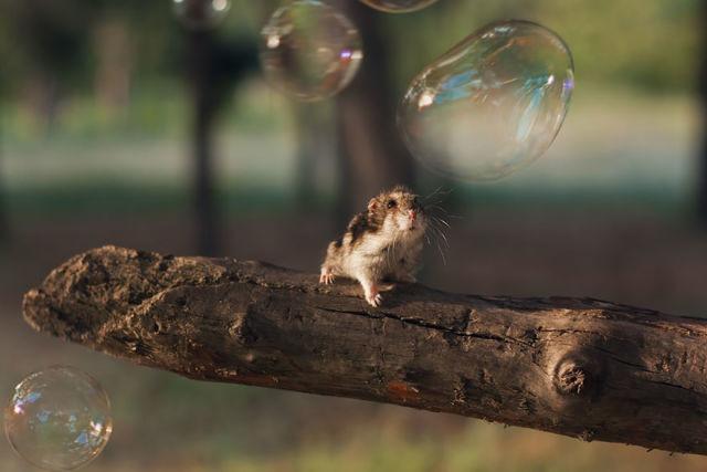 hamster-trop-mignon-12