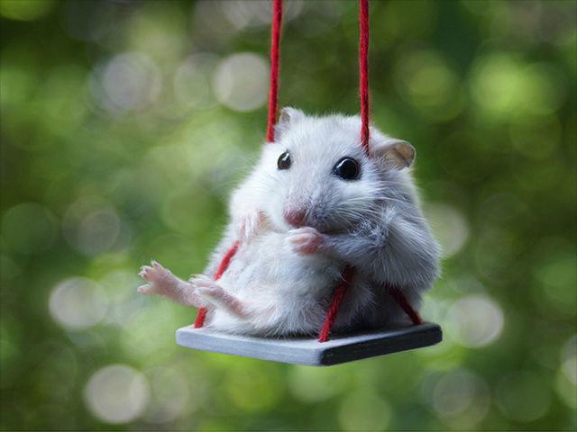 hamster-trop-mignon-13
