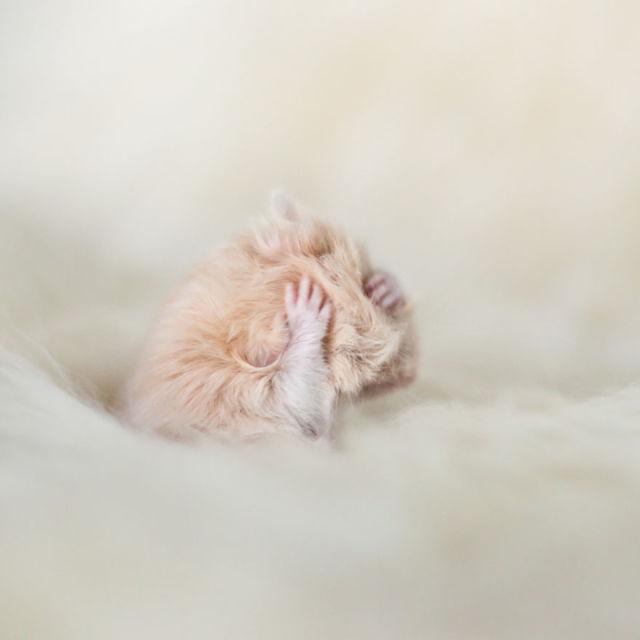 hamster-trop-mignon-14