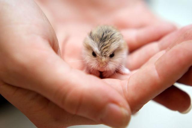 hamster-trop-mignon-15