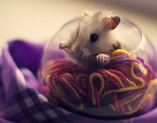 hamster-trop-mignon-2