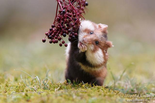 hamster-trop-mignon-3