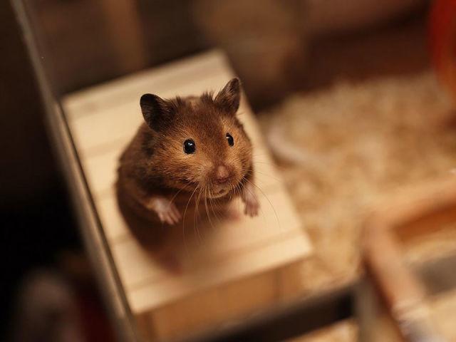 hamster-trop-mignon-4