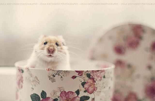 hamster-trop-mignon-5