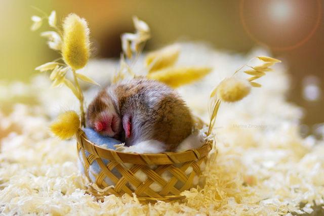 hamster-trop-mignon-6