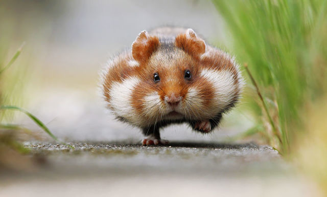hamster-trop-mignon-8