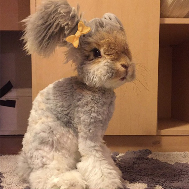 lapin-wally-angora-1