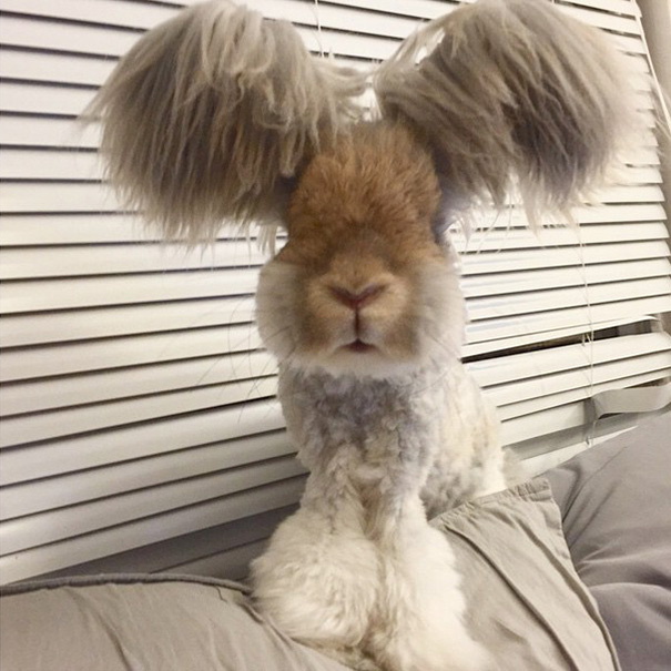 lapin-wally-angora-2