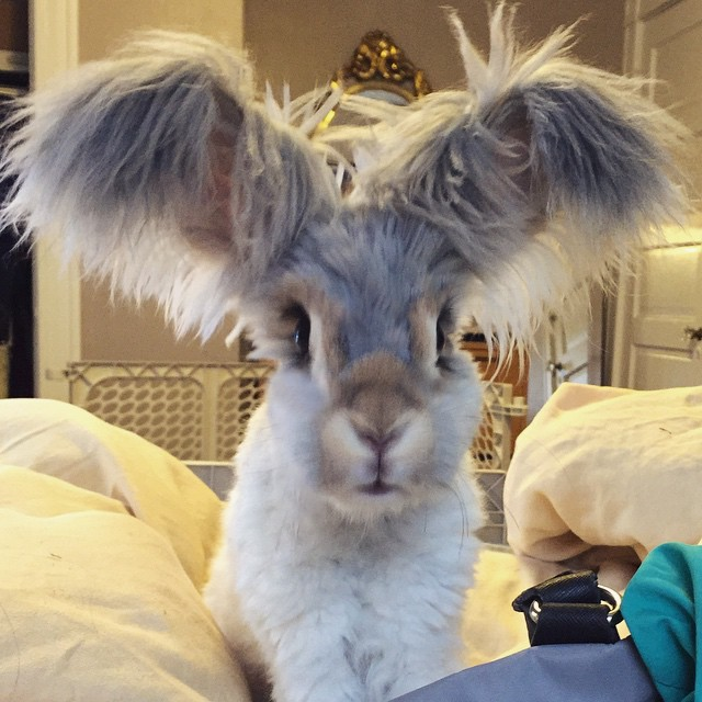 lapin-wally-angora-5