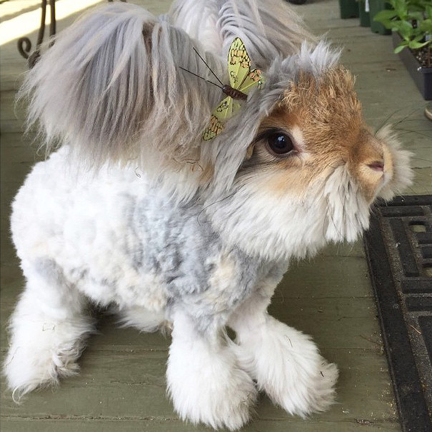 lapin-wally-angora-7